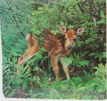 Image: A photograph of a baby whitetail deer standing in a lush forest in Vermont, U.S. The deer has brown and white fur with white spots, dark eyes and a dark nose.